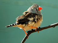 小珍珠鸟小巧玲珑图片