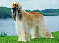 阿富汗猎犬雄伟英姿图片