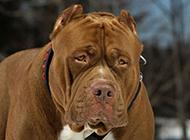 世界第一猛犬比特犬图片大全