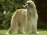 阿富汗猎犬美丽外表图片