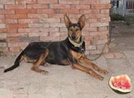 苏联红犬凶猛外形图片