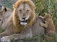 雄狮与子甜蜜玩耍 舐犊情深猛兽温暖人心