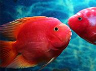 心形鹦鹉鱼体色鲜红图片
