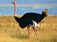 非洲鸵鸟草散步休闲图片