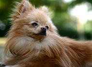 德国小型狐狸犬优雅造型图片