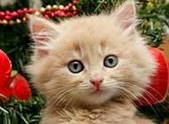 宠物猫的欢乐喜庆圣诞写真
