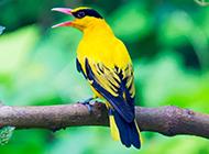鸣声婉转的黑枕黄鹂鸟图片