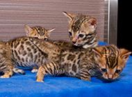 可爱的小豹猫嬉闹图片大全