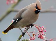 高清唯美的太平鸟动物图片