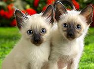 小暹罗猫图片壁纸大全