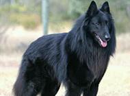 勇敢帅气的黑色比利时牧羊犬图片