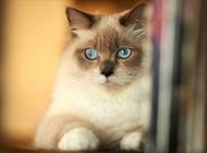 泰国暹罗猫美丽高贵图片