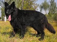 大型雄壮的长毛黑熊犬图片