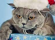 圣诞节装扮的猫咪高清图集