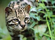 纯种豹猫食肉类动物图片大全
