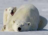 北极熊高清唯美图片