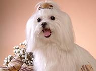 小马尔济斯犬可爱卖萌图片