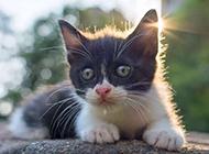 晒太阳的中华田园猫黑白图片