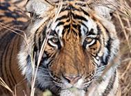 冷酷凶猛的老虎高清写真