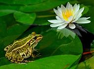 荷塘可爱的小青蛙图片