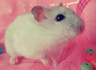 小白鼠图片可爱模样乖巧