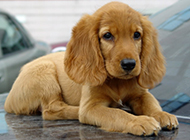 小可卡犬无辜撒娇图片分享