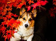 可爱狗狗壁纸高清秋天美景摄影