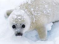 极地野生海狮海豹动物图片