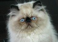 身材圆滚滚的喜马拉雅种猫图片