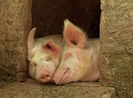 猪搞笑图片之幸福其实很简单