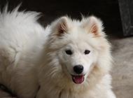 萨摩耶犬帅气吐舌图片