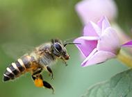 花园蜜蜂采蜜图片微距壁纸