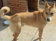 中华田园犬傲娇眼神图片