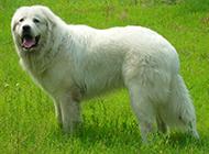 纯种白色长毛大白熊犬图片