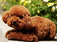 可爱乖巧的棕色泰迪狗图片