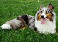 外形漂亮的苏格兰牧羊犬图片欣赏