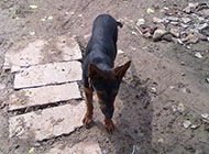 莱州红犬懒散图片