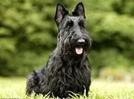 毛发浓密的苏格兰梗犬图片