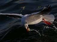 空中飞鸟--红嘴鸥