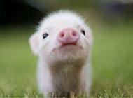 欢蹦乱跳的可爱小猪图集