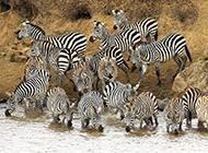斑马老虎高清动物图片合集