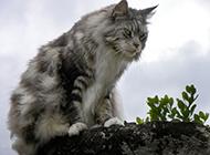 霸气的缅因猫图片