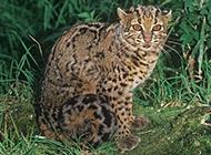 重点保护动物野生云猫图片大全