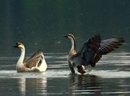 公园湖泊游玩的白天鹅图片大图