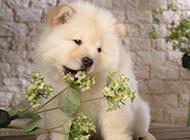 超萌的松狮犬小时候图片