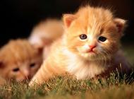 家养小猫咪动物图片特写