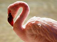粉红色的火烈鸟图片壁纸