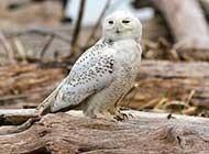 型似猫头鹰的雪鸮