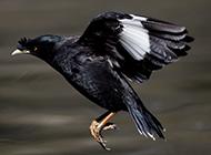 飞翔的亚洲八哥鸟图片