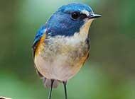 红胁蓝尾鸲鸟图片欣赏